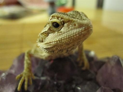 lizards~1